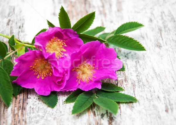 Dog rose Stock photo © Es75
