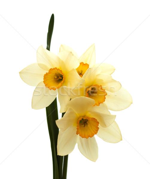daffodils Stock photo © Es75