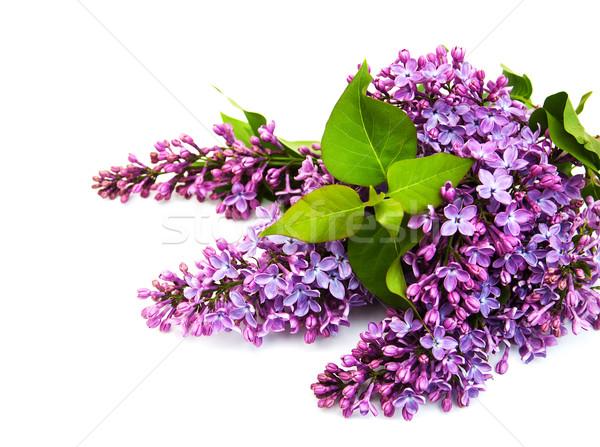 Stock fotó: Orgona · virágok · izolált · fehér · fa · természet