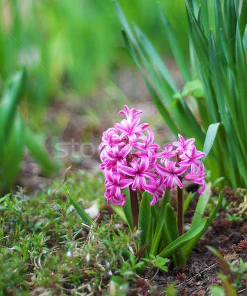 Foto stock: Primavera · jacinto · flores · rosa · jardim · folha