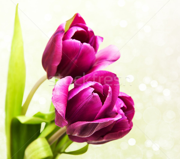 purple colored tulip flowers Stock photo © Es75