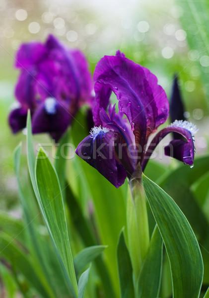 Güzel iris güzellik çiçek yaprak Stok fotoğraf © Es75