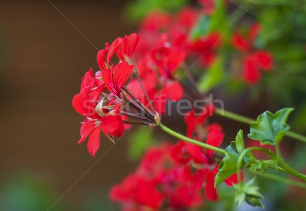 Geraniums Stock photo © Es75