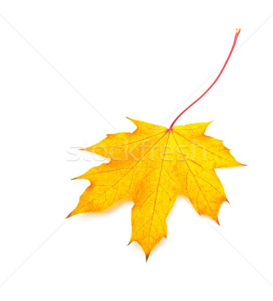 осень Maple Leaf изолированный белый лес природы Сток-фото © Es75