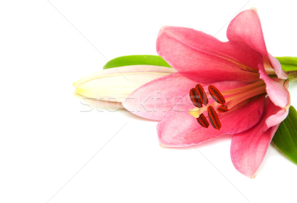 Pink lily Stock photo © Es75