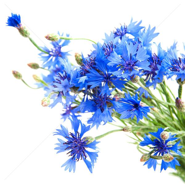 Stock photo: Cornflower