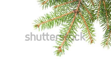 сосна зеленый белый фон пространстве зима Сток-фото © Es75