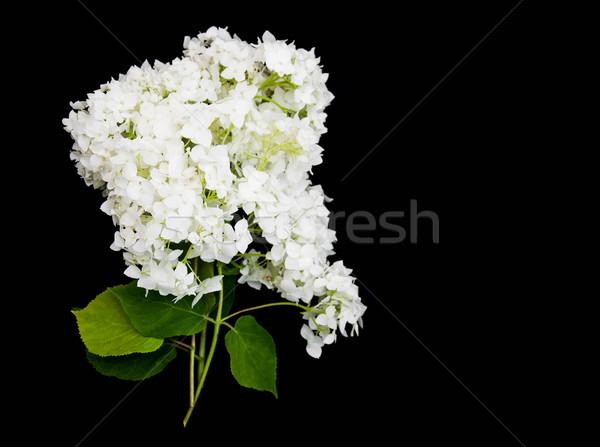 white hydrangea on a black Stock photo © Es75