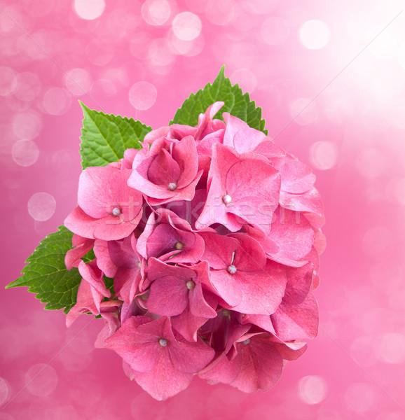 Pink hydrangea Stock photo © Es75
