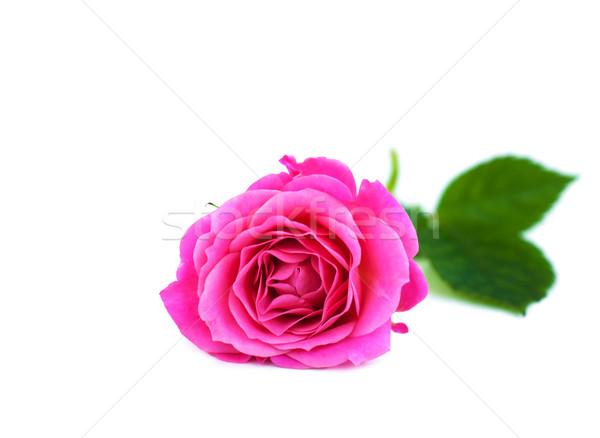 Pink rose Stock photo © Es75