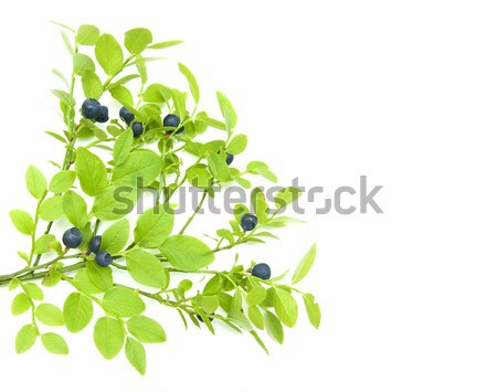 Stock photo: Blueberry branch