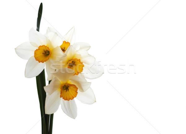 нарциссов весны желтый Daffodil белый цветы Сток-фото © Es75