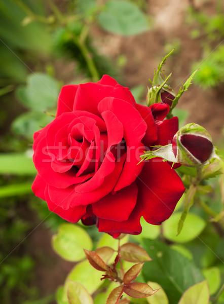 バラ 庭園 美しい 赤いバラ 自然 緑 ストックフォト © Es75