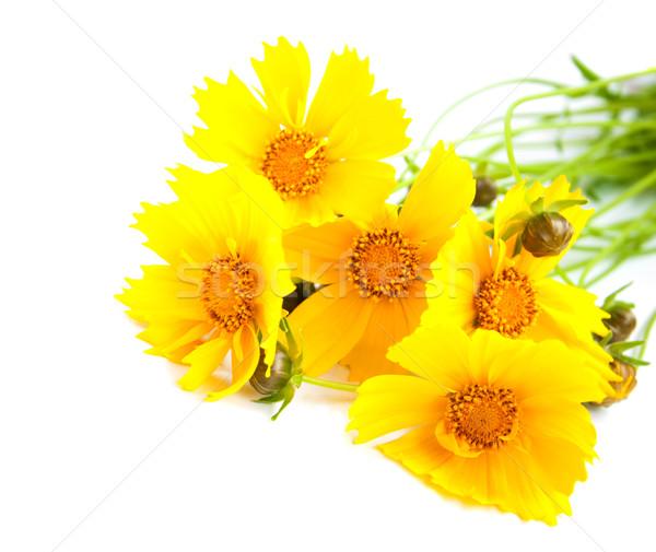 Yellow cosmos flowers Stock photo © Es75