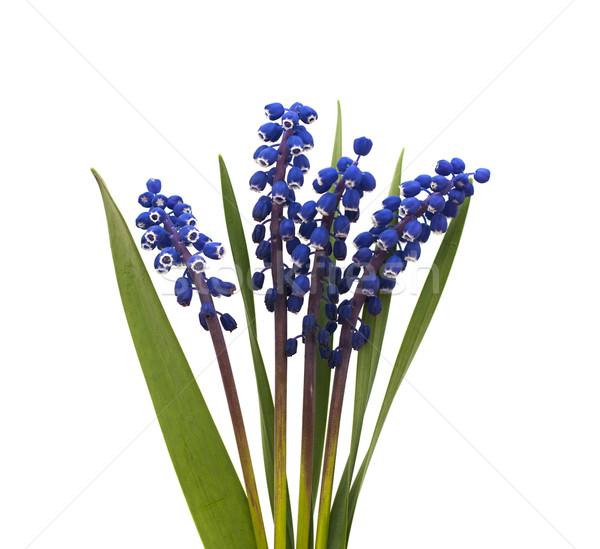 ブドウ ヒヤシンス 白 花 自然 夏 ストックフォト © Es75