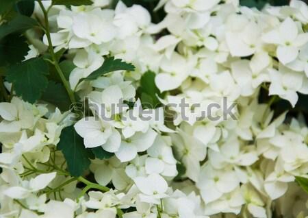 white hydrangea  blossoms Stock photo © Es75