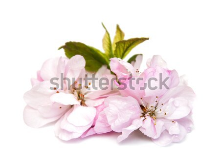 Stock fotó: Sakura · virág · fehér · rózsaszín · fa · levél