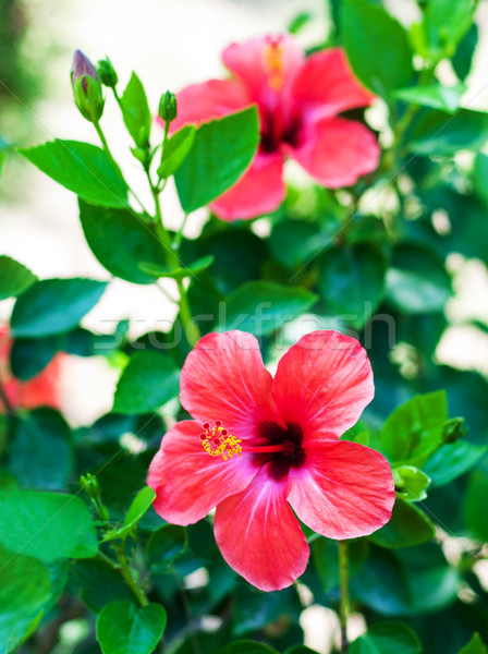 Red hibiscus flowers Stock photo © Es75