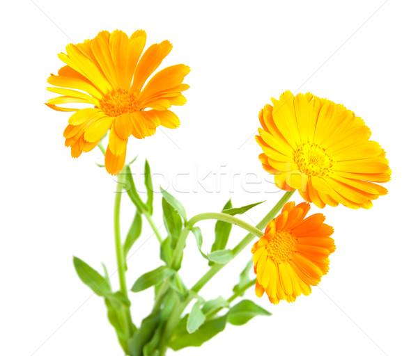Stock fotó: Virágok · fehér · természet · szépség · gyógyszer · fej