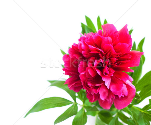 Stock photo: Blossoming pink peony with a leaf