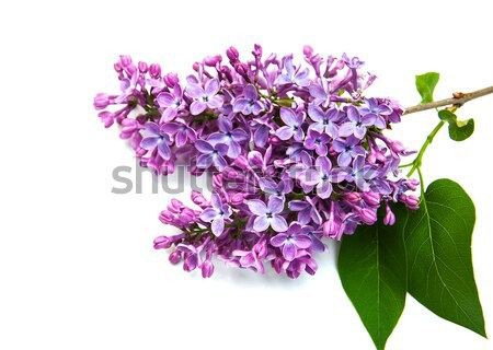 Lilac flowers Stock photo © Es75