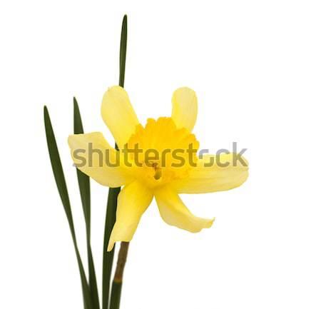 daffodil Stock photo © Es75