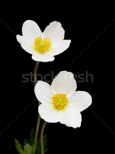 White anemone flowers Stock photo © Es75