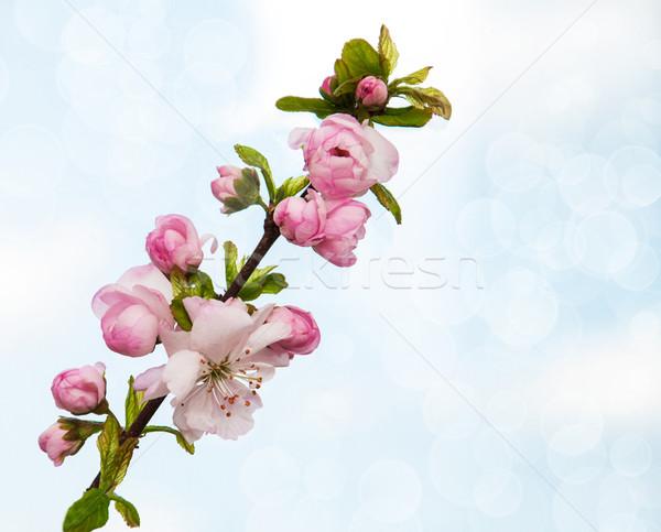Sakura fiore confine rosa cielo blu cielo Foto d'archivio © Es75