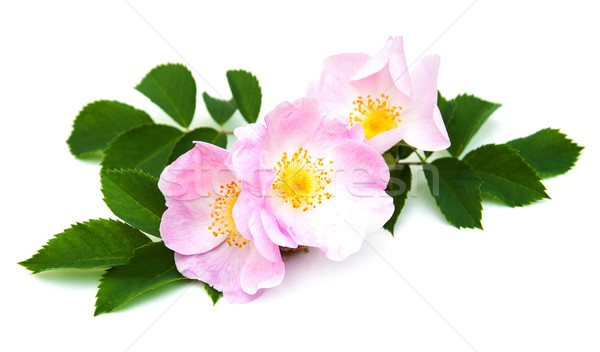 Stok fotoğraf: Köpek · gül · pembe · beyaz · çiçekler · sevmek