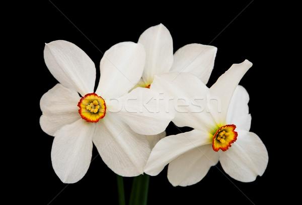 水仙 黒 スイセン 花 孤立した 庭園 ストックフォト © Es75
