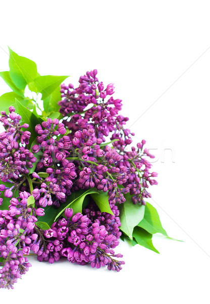 lilac branch on white Stock photo © Es75