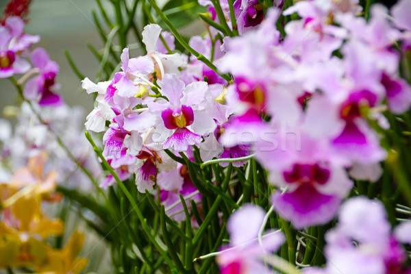Singapore orchideeën bloem natuur groene plant Stockfoto © esatphotography