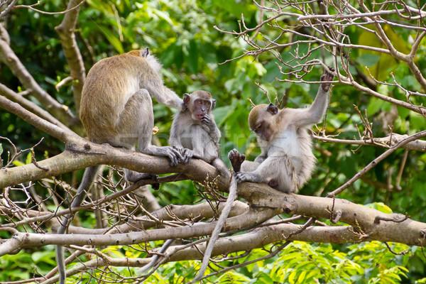 Majmok Malajzia baba természet zöld majom Stock fotó © esatphotography