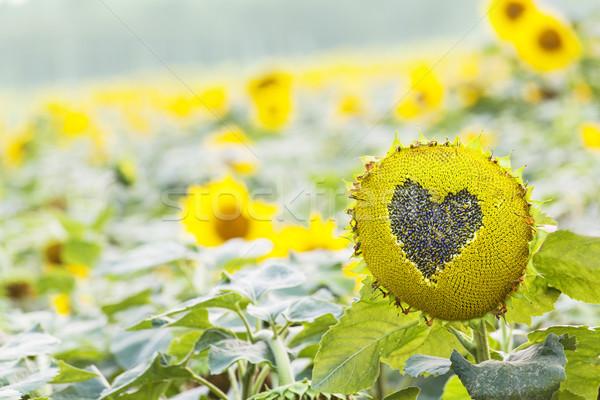 Сток-фото: подсолнечника · сердце · Рисунок · природного · bokeh