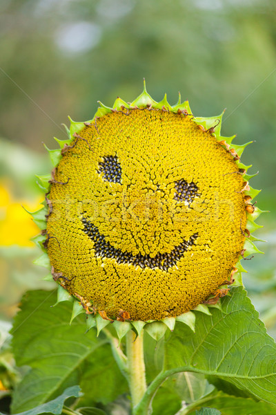 Sunflower with smiley face on natural green background Stock photo © Escander81