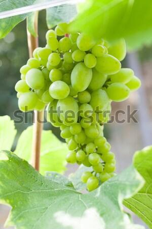 Fresh green grapes on vine Stock photo © Escander81