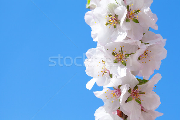 Blooming sacura or cherry tree over blue sky Stock photo © Escander81