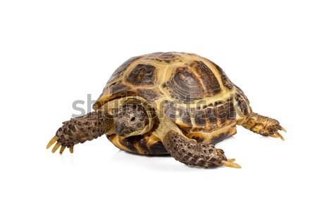 studio photo of little turtle isolated on white background Stock photo © Escander81