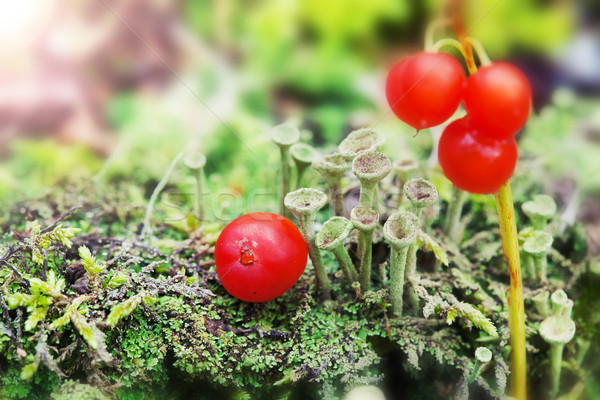little green mushrooms and red berries on the moss on natural gr Stock photo © Escander81