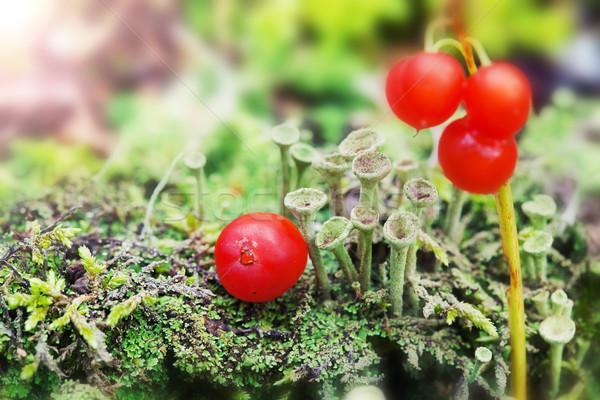緑 キノコ 赤 液果類 苔 ストックフォト © Escander81