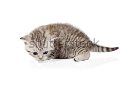 Scottish-fold kitten isolated on white background Stock photo © Escander81