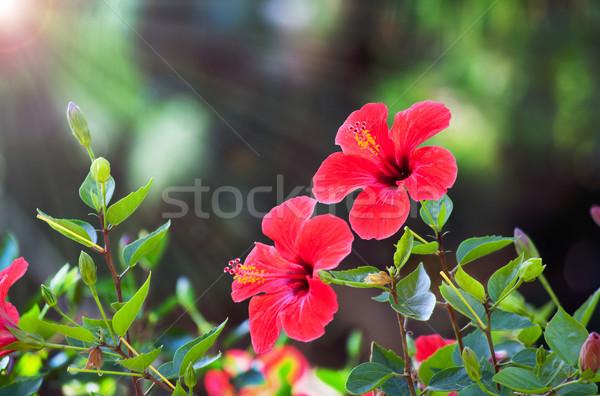 Сток-фото: красный · гибискуса · цветок · природного · зеленый · bokeh