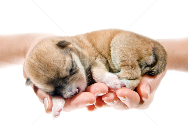 Newborn puppy in the caring hands  Stock photo © EvgenyBashta