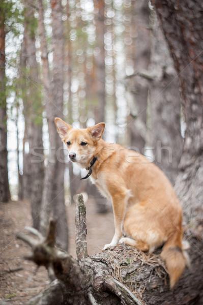 Kutya fa fenyőfa erdő gyömbér ül Stock fotó © EvgenyBashta