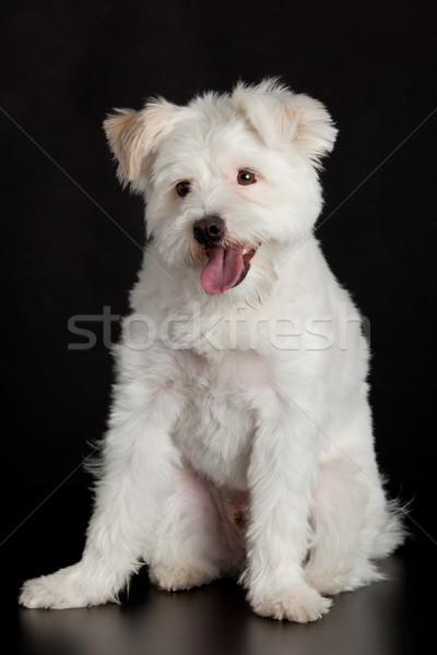 Witte hond zwart wit zwarte dier studio Stockfoto © EwaStudio