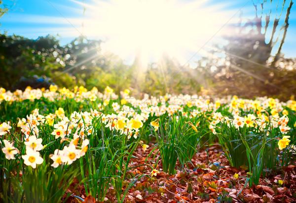 Spring time. narcissus flowers Stock photo © EwaStudio
