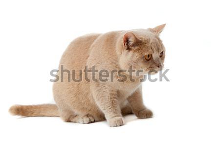 英国の ショートヘア 猫 白 孤立した 自然 ストックフォト © EwaStudio