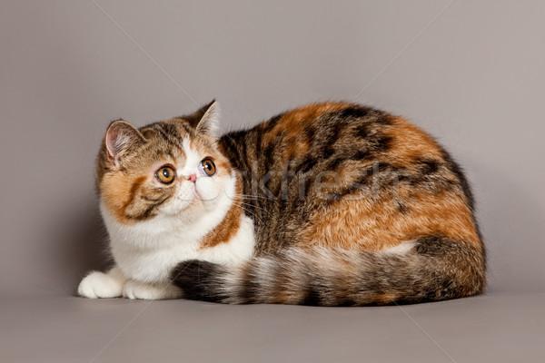 Exotic shorthair cat.  persian cat on grey background  Stock photo © EwaStudio