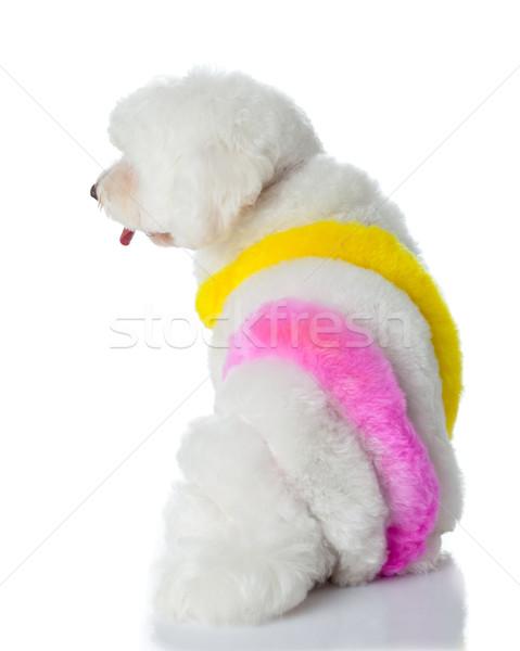 прелестный собака белый волос краской художника Сток-фото © EwaStudio