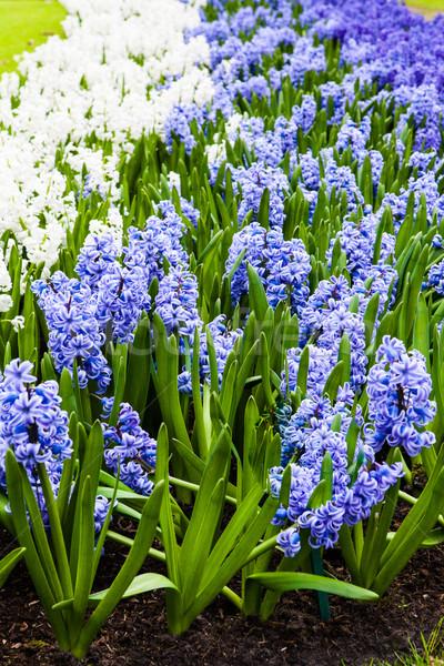 Foto stock: Flor · da · primavera · jacinto · verde · azul · planta · parque